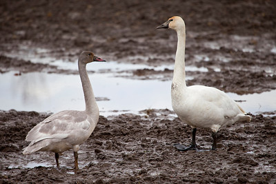 We found another farm in the Samish Flats area that had hundreds of trumpeter swans on it.  As you can tell, it was extremely muddy as well as overcast and raining!