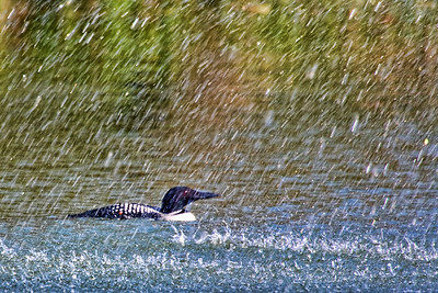 Loon in the fountain