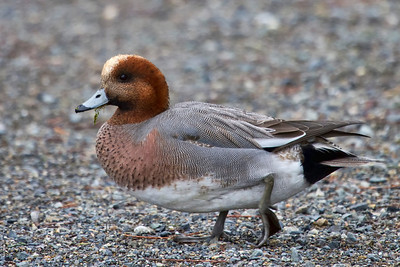 At the duck pond we came across hundreds of American Wigeons, and fortunately for me, this Eurasian Wigeon was hiding out in the middle of the flock!   A newbie for me!
