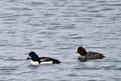 These guys were way out in the sound, but I had to capture an image of them since they too were new sightings for my life list.  Barrow's Goldeneye couple.