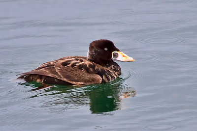 Surf Scoter, love these guys!!  And yes, it was still raining!!!