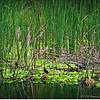 2014-07-23_IMG_2730_Boyd Hill Preseve,St Pete,Fl_
