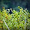 2017-07-03_boat-tailed grackle,Chautauqua Park_P7030752