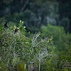 2017-07-03_anhinga and boat-tailed grackle,Chautauqua Park_P7030757