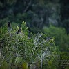 2017-07-03_anhinga and boat-tailed grackle,Chautauqua Park_P7030758