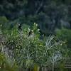 2017-07-03_anhinga and boat-tailed grackle,Chautauqua Park_P7030759