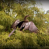 2014-09-20...Anhinga...Freedom Lake,Pinellas Park, FL...©2014 RobertLesterPhotography.com
