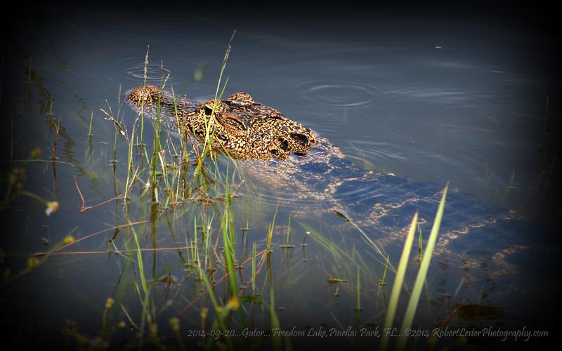 2014-09-20...Gator...Freedom Lake,Pinellas Park, FL...©2014 RobertLesterPhotography.com
