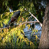 2014-09-20...Green Heron...Freedom Lake,Pinellas Park, FL...©2014 RobertLesterPhotography.com