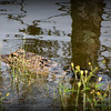 2014-09-20...Gator...Freedom Lake,Pinellas Park, FL...©2014 RobertLesterPhotography.com