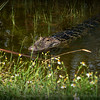 2014-09-20..Gator....Freedom Lake,Pinellas Park, FL...©2014 RobertLesterPhotography.com