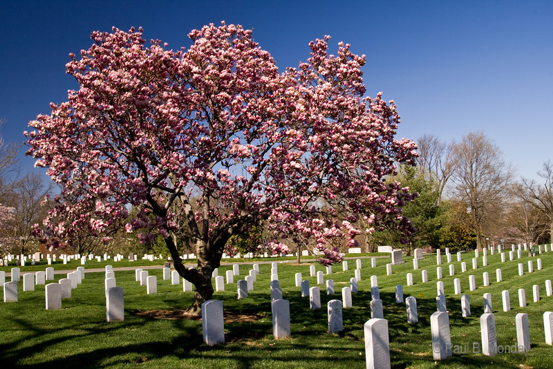 A site that could only be in D.C., a beautiful, blossoming cherry tree in the midst of thousands of like headstones.  This particular cherry tree is right outside the Tomb of the Unknown.
