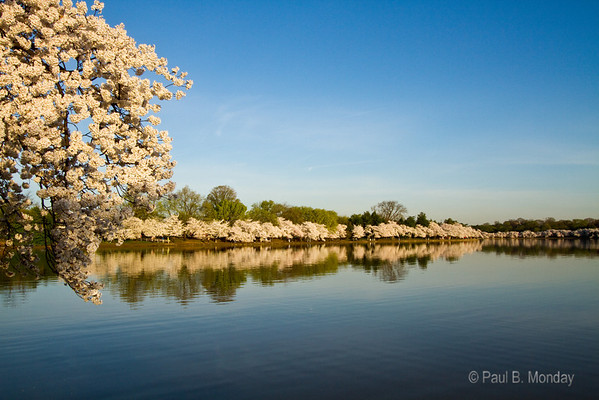 This is morning at the tidal basin ... Thursday at the peak bloom.  Friday, Saturday and Sunday were almost total chaos with people at this hour but Thursday at dawn it is yourself, a few photographers that are equalled in number only by joggers.  It is quite serene when you think of the storm of people due to arrive the next day.