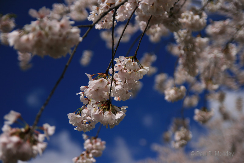 The Cherry Blossoms of Washington D.C., I have this in canvas in my house, it turned out beautifully.
