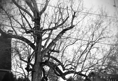 Century-Old Tree