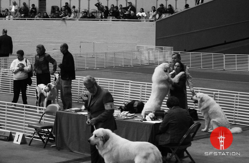 "Photo by Joshua Hernandez <br /><br /> <b>See event details:</b> <a href=""http://www.goldengatekc.com/"">Golden Gate Kennel Club Dog Show</a>"