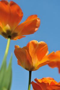 orange tulip april 2011