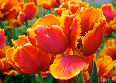 Veldheer Tulip Gardens, Holland Michigan
