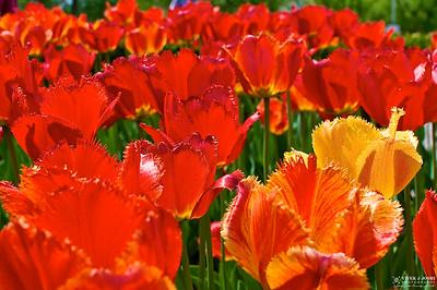 Tulip Festival Windmill Island, Holland Michigan