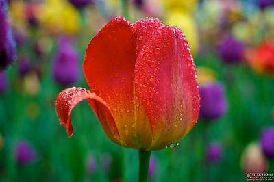 Tulip Festival Centennial Park, Holland Michigan