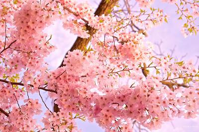 Cherry Blossom In Morning Light !!