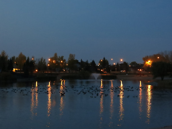 Geese in Lake, City Park
