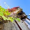 Vine Crawling Fall at RiverHeath