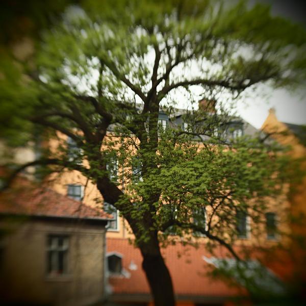 Embraced Houses.<br /> Træ i Akademiets Have set fra Heibergsgade, København, Danmark.