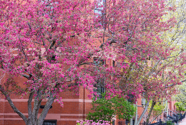 Malus Radiant in blossom, Back Bay, Boston
