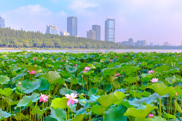 Dancing Lotus, Lake Xuanwu