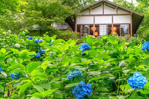 The blossom of Hydrangea in Sanzenin Garden,Kyoto