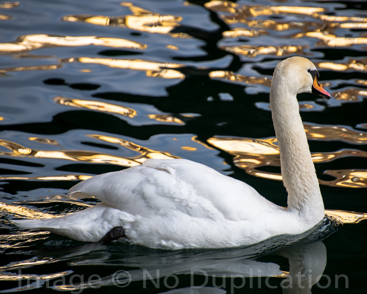 Swan Lake - February 2014<br /> Luzern, Switzerland<br /> (4x5)<br /> Best reproduction - No Larger Than 16x20
