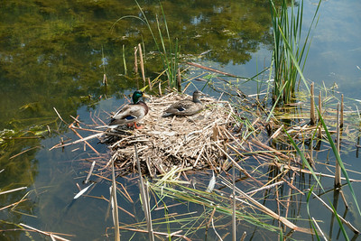 Nesting Mallards