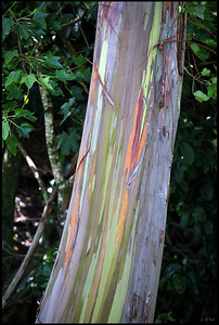 Rainbow Eucalyptus tree with colorful bark   Maui, Hawaii