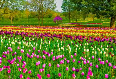 """Fields of Tulips,"" Holland, Michigan, 2014."