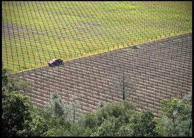 Napa Wine Grape Field in Bloom