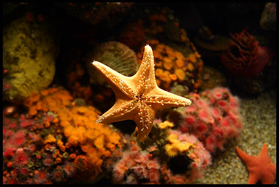 Seastar in the Monterey Aquarium