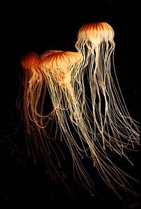 Jellyfish, Monterey Bay Aquarium