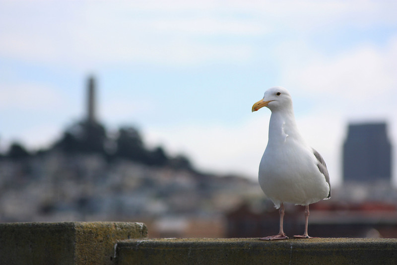 San Francisco: Seagull and Coit Tower