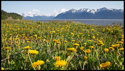 Wildflowers Blossom along the Turnagain Arm