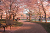 Path Through the Cherry Blossoms