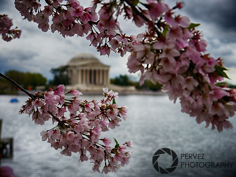 Cherry Blossoms on the Tidal Basin during the springtime in Washington, DC