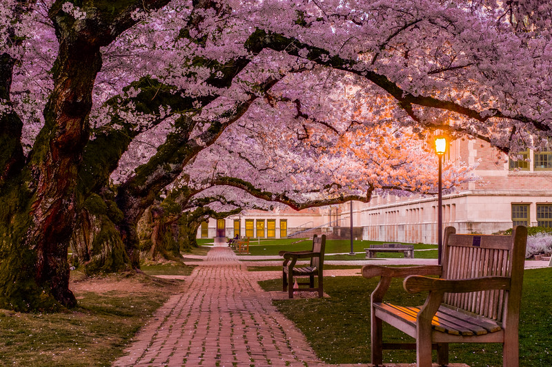 Cherry Blossom Elegance