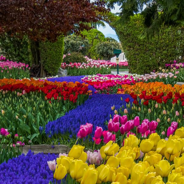 Stately Tulip Garden