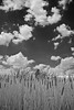 Cat tails taken at a pond near Stone House.Manassas Battlefield taken with my infrared converted digital camera.