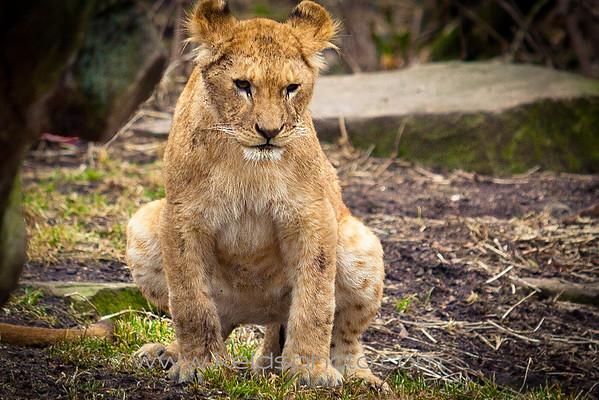 Løve unge - Københavns Zoo