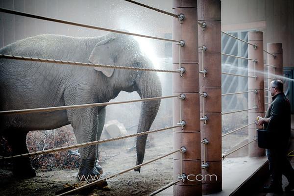 Elefant - Københavns Zoo