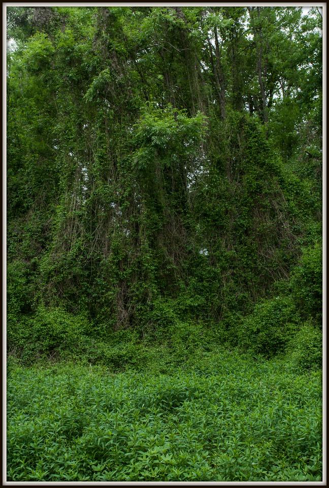 Forêt pluviale avec clématites et gerbes d'or