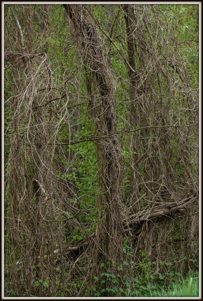 Trois arbres, trois clématites, une tache de peinture orange