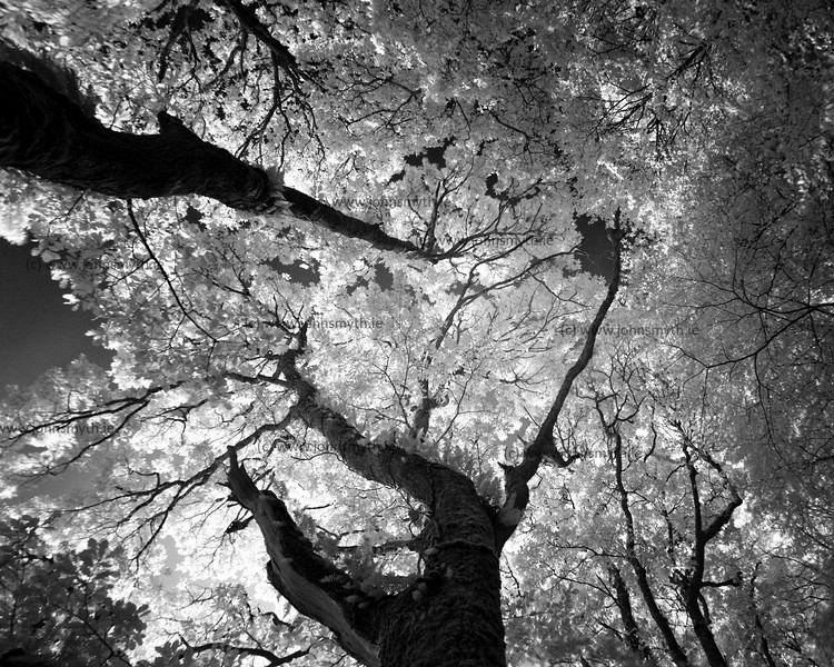 Infrared picture of oak trees on the side of Lough Graney in Co. Clare, Ireland.